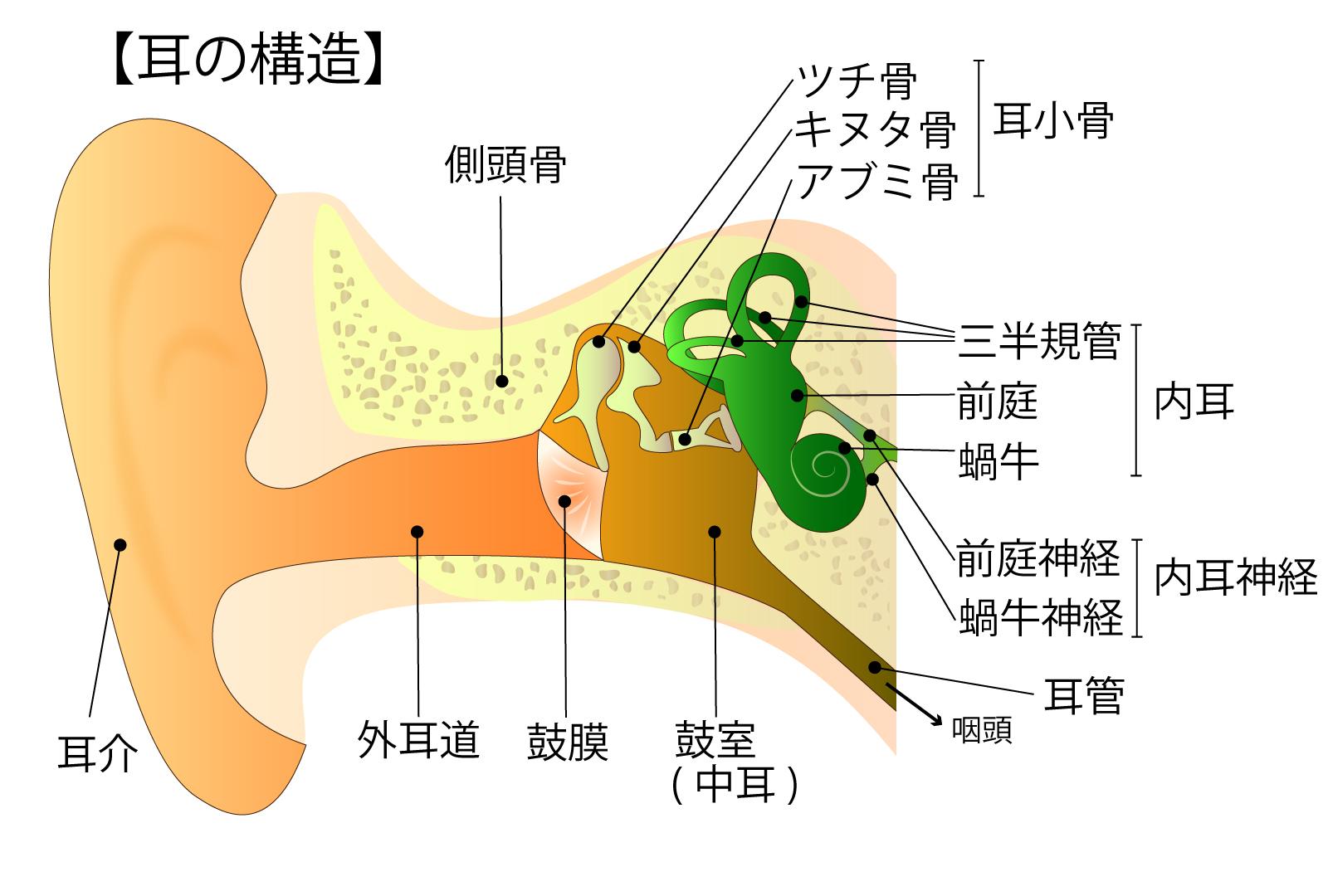 カイロ奈良整体西大寺カイロプラクティック整体院の耳の構造